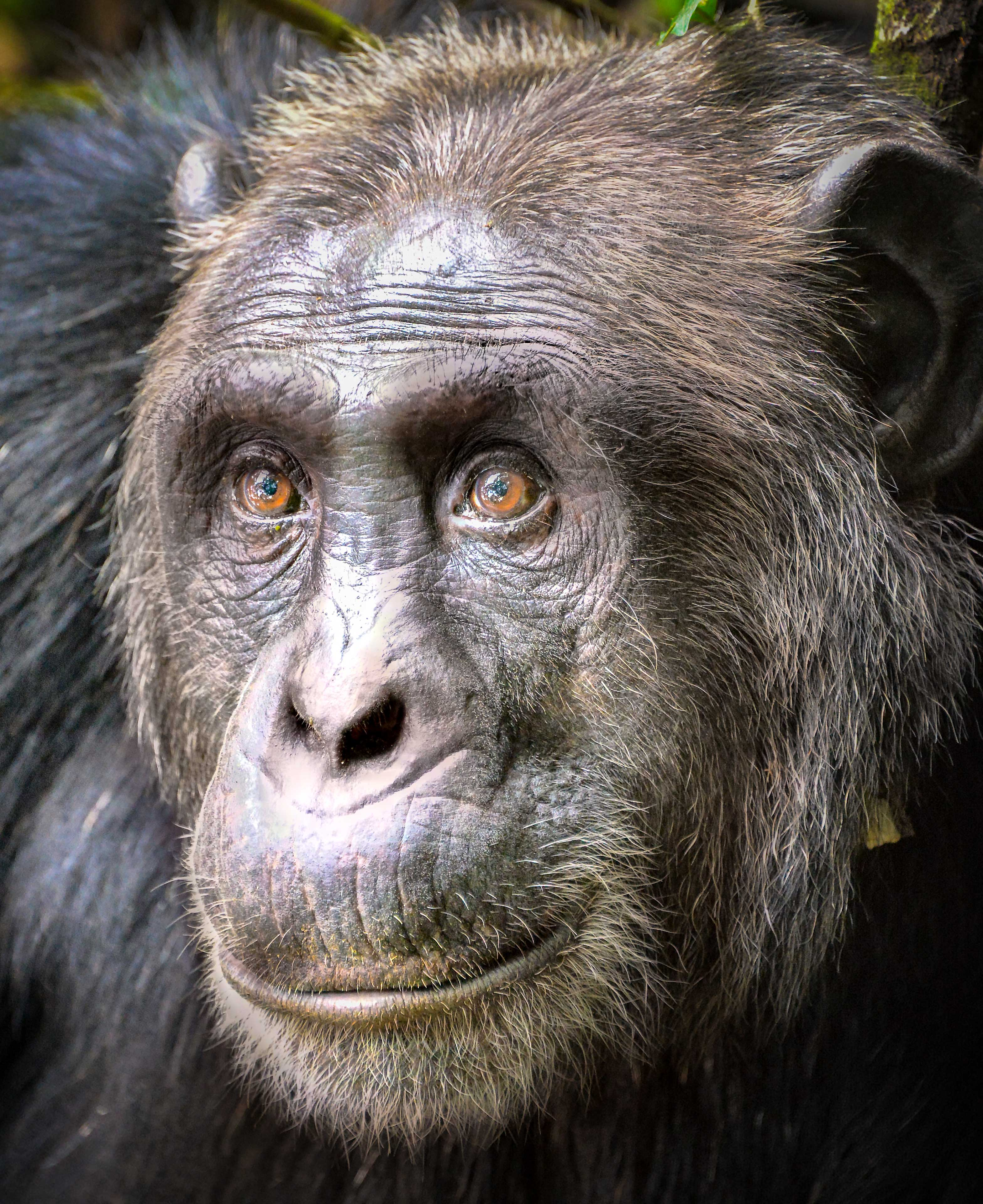 Chimpanzee,_Kibale,_Uganda_(23022998774)