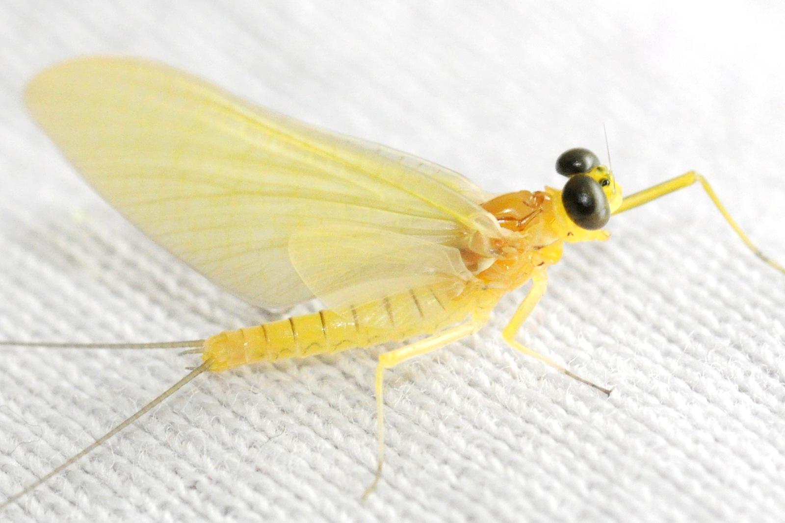 mayfly_2