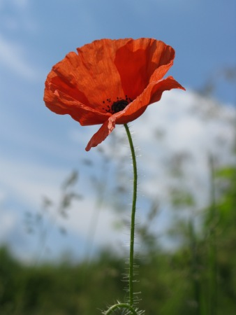 poppy_stock_1_by_sassy_stock-d4r019g