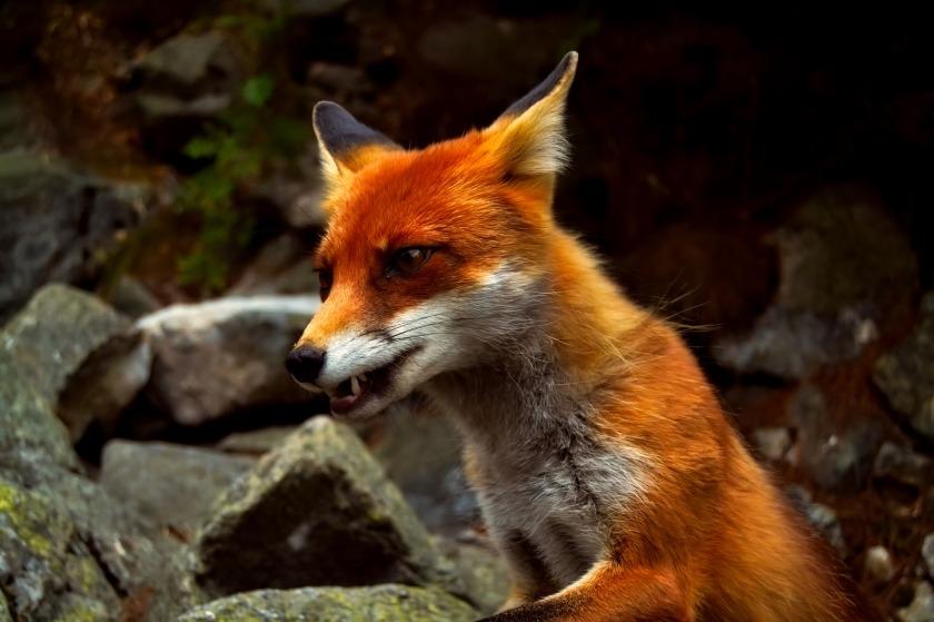 fox-2470929_1920